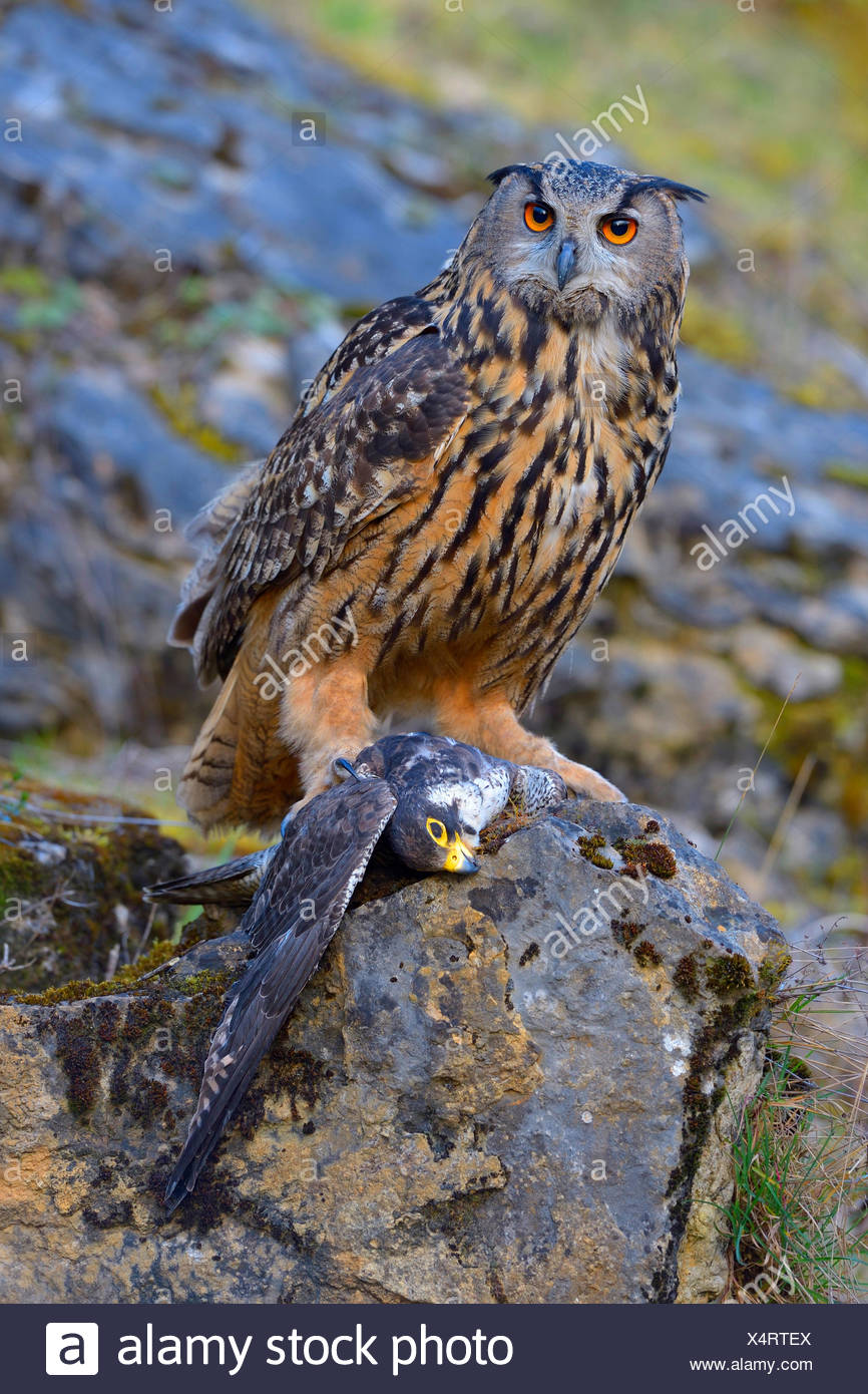 northern eagle owl (Bubo bubo), afult female with peregrine falcon as prey, Bad Wuennenberg Stock Photo