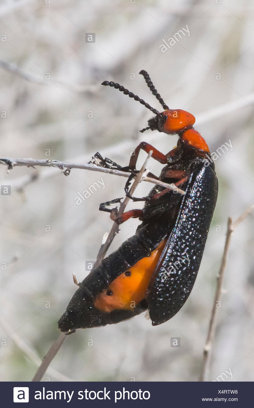 A desert blister beetle, Lytta magister, clings to a twig. - Stock Image