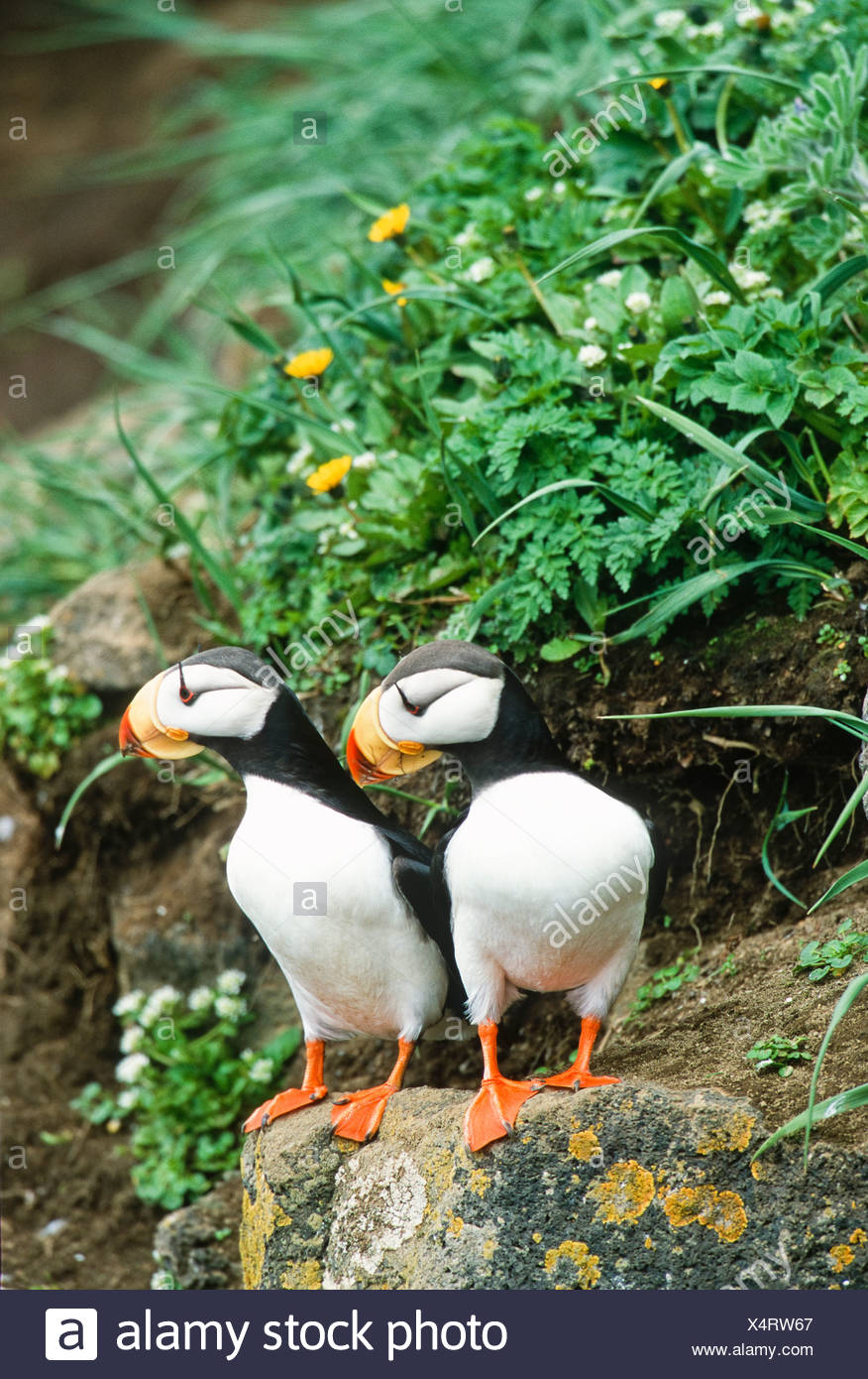 Alaska. Horned Puffins St Paul Island. - Stock Image