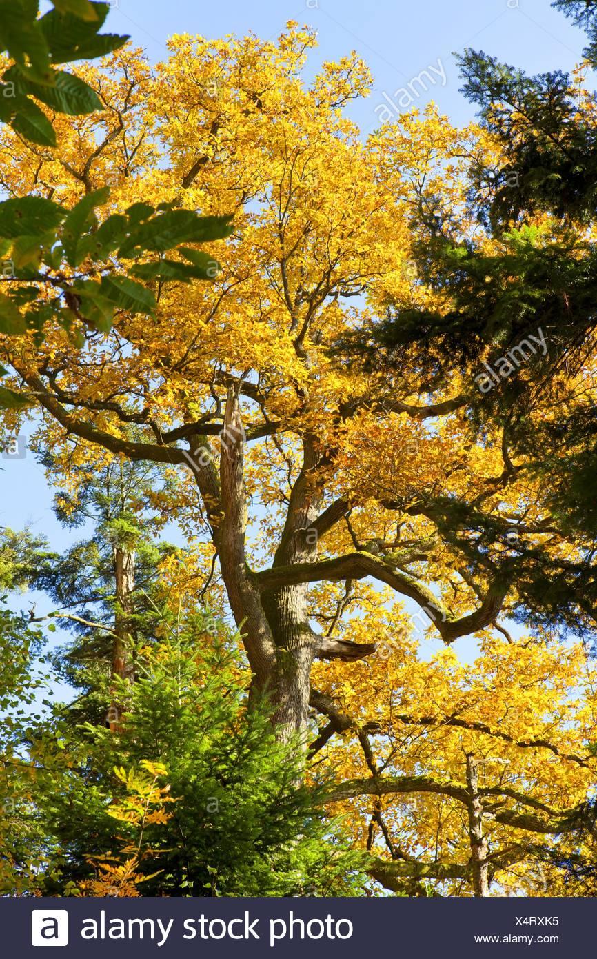 Stiel-Eiche, Stieleiche (Quercus robur), im Mischwald im Herbst, Deutschland, Baden-Wuerttemberg | common oak, pedunculate oak,  - Stock Image