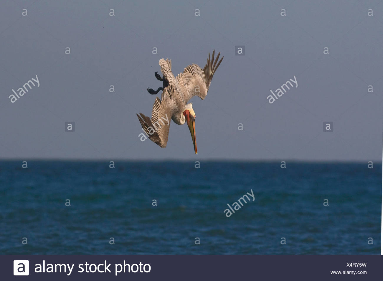 brown pelican (Pelecanus occidentalis), nose-diving for fish in the sea, Mexico, Golf von Kalifonien, Puerto Penasco - Stock Image