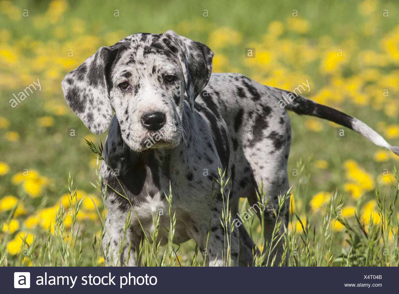 Great Danes Dog Puppy - Stock Image