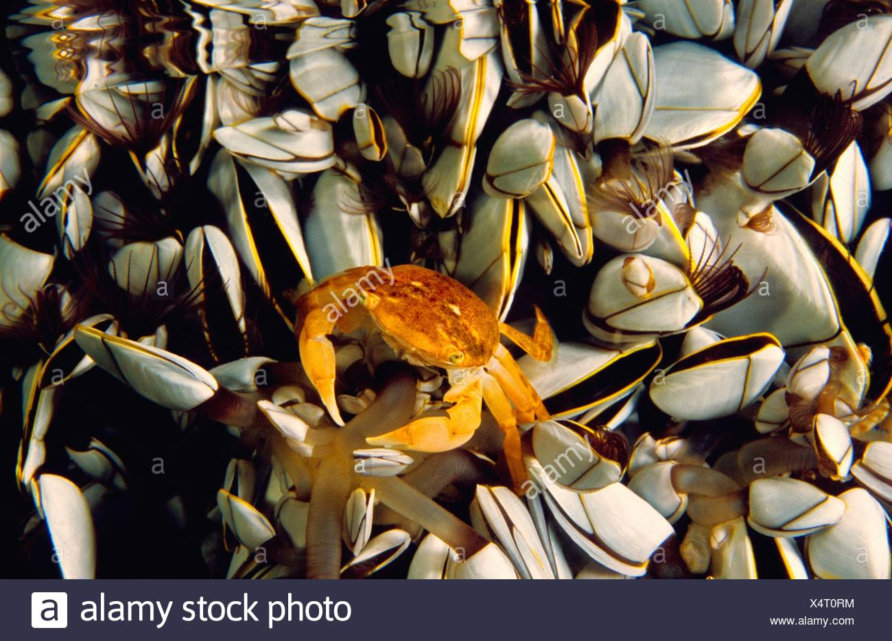 Oceanic crab (Pinoferes pinofrese) in the middle of Gooseneck barnacle, Atlantic Ocean, Azores, Portugal - Stock Image