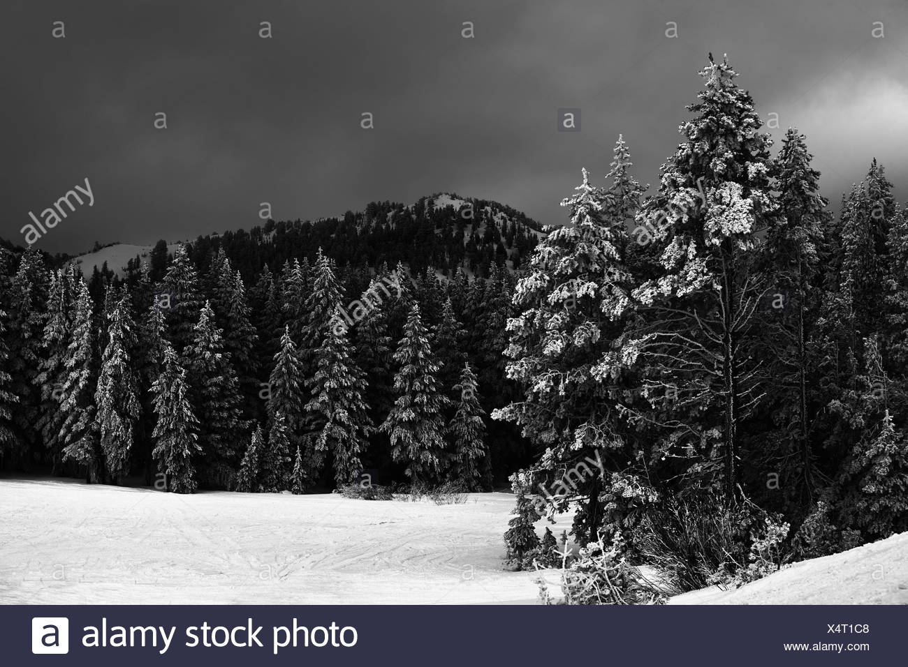 Snowy tree lined forest, hills and field - Stock Image