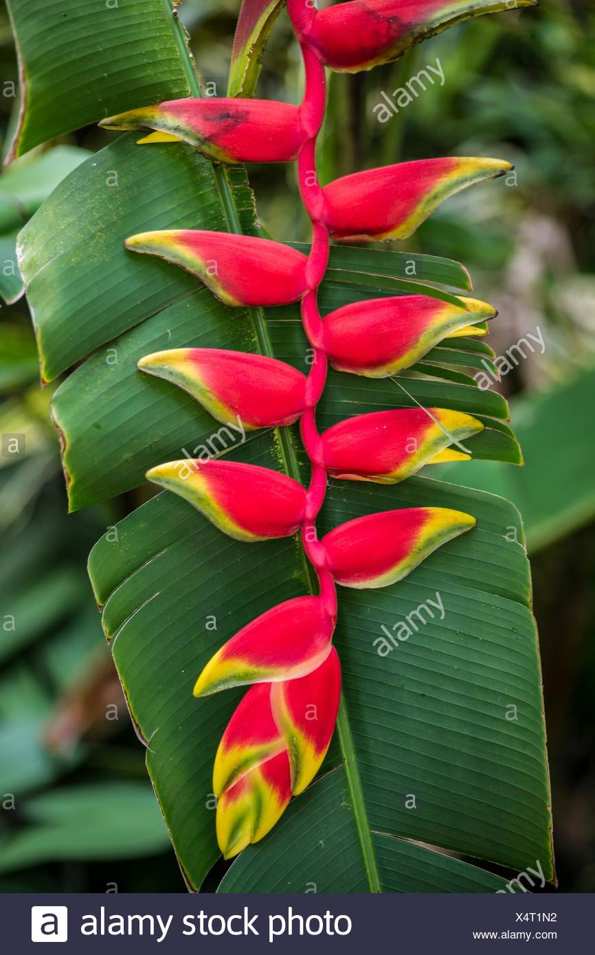 The inflorescence of a lobster-claw heliconia (Heliconia rostrata). - Stock Image