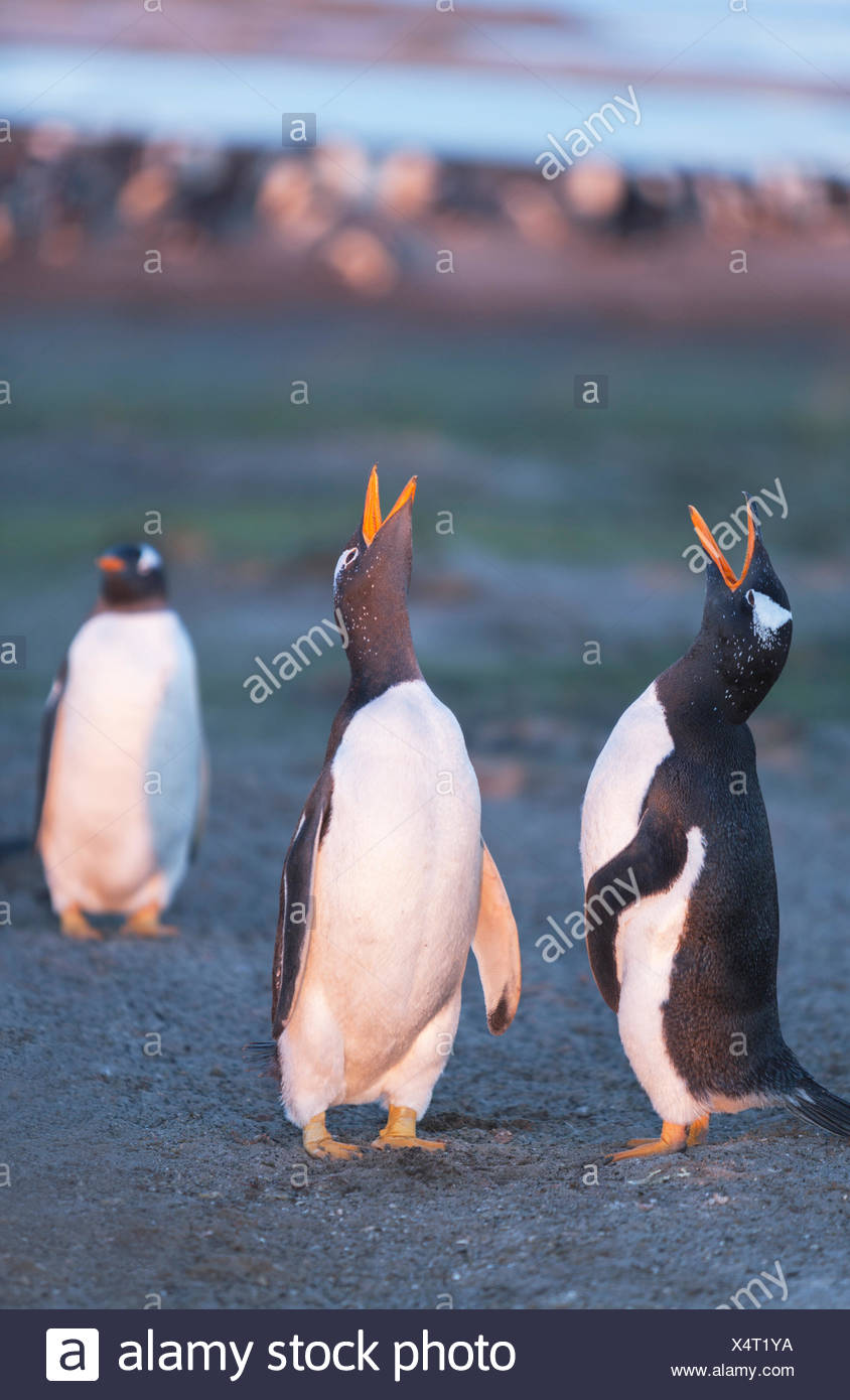 Gentoo penguins singing (Pygoscelis papua papua), Sea Lion Island, Falkland Islands, South Atlantic Stock Photo