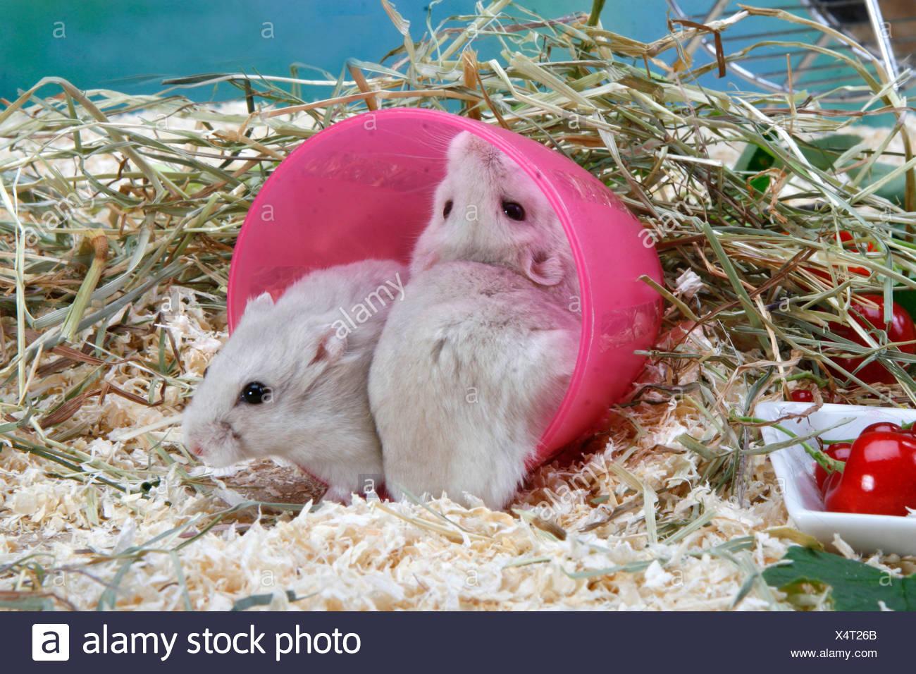 Roborovski Hamster Stock Photo: 278353107 - Alamy
