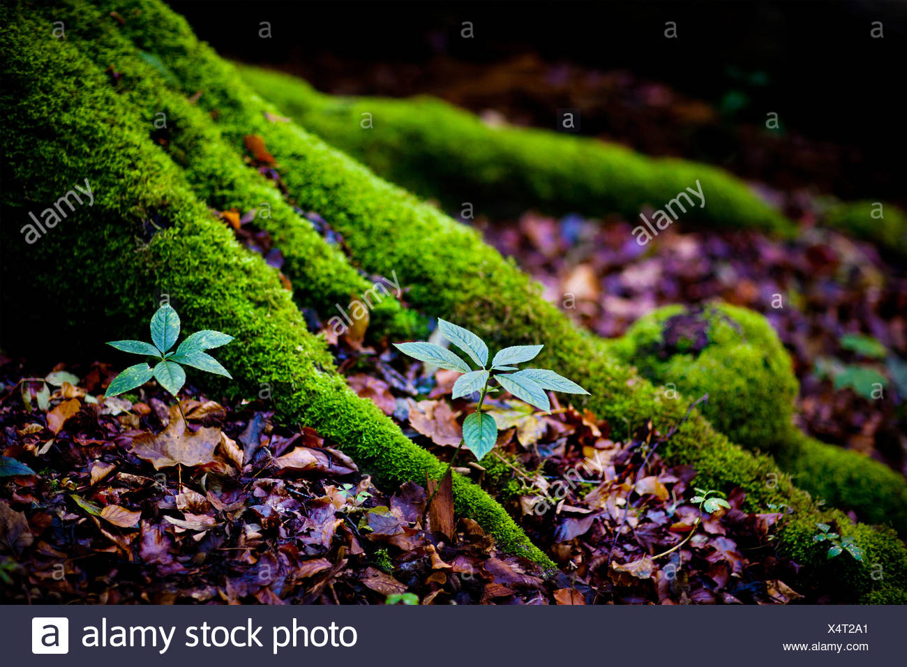 Moss on tree roots - Stock Image