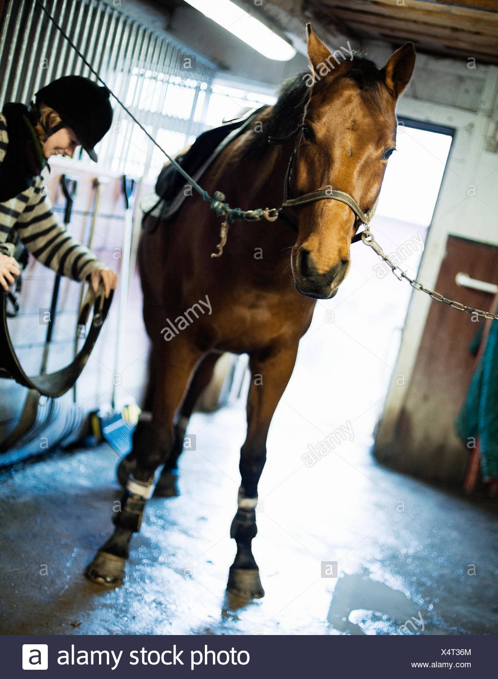 Woman with a horse in the stable, Sweden. - Stock Image
