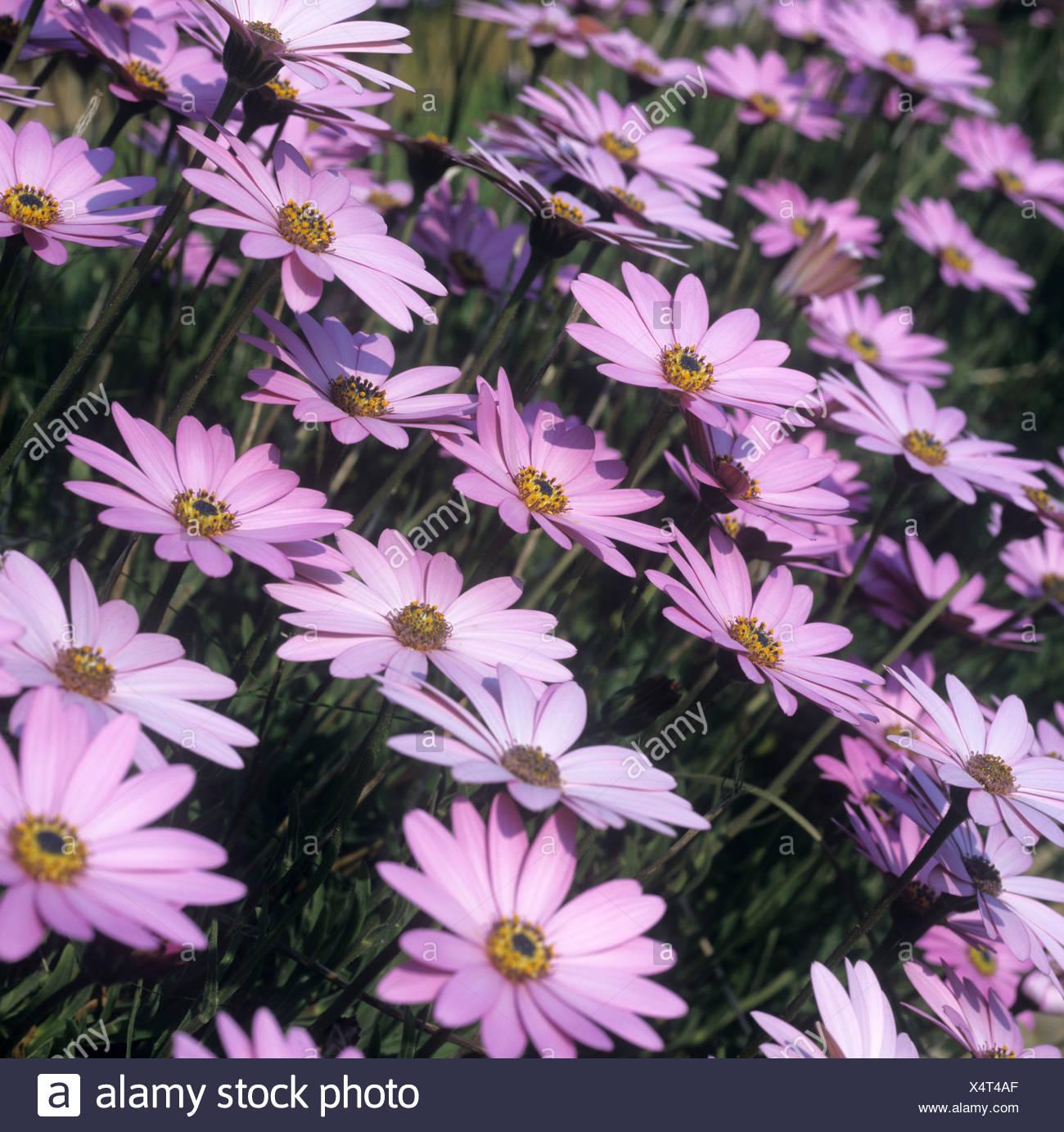Osteospermum jucundum lilac flowers - Stock Image