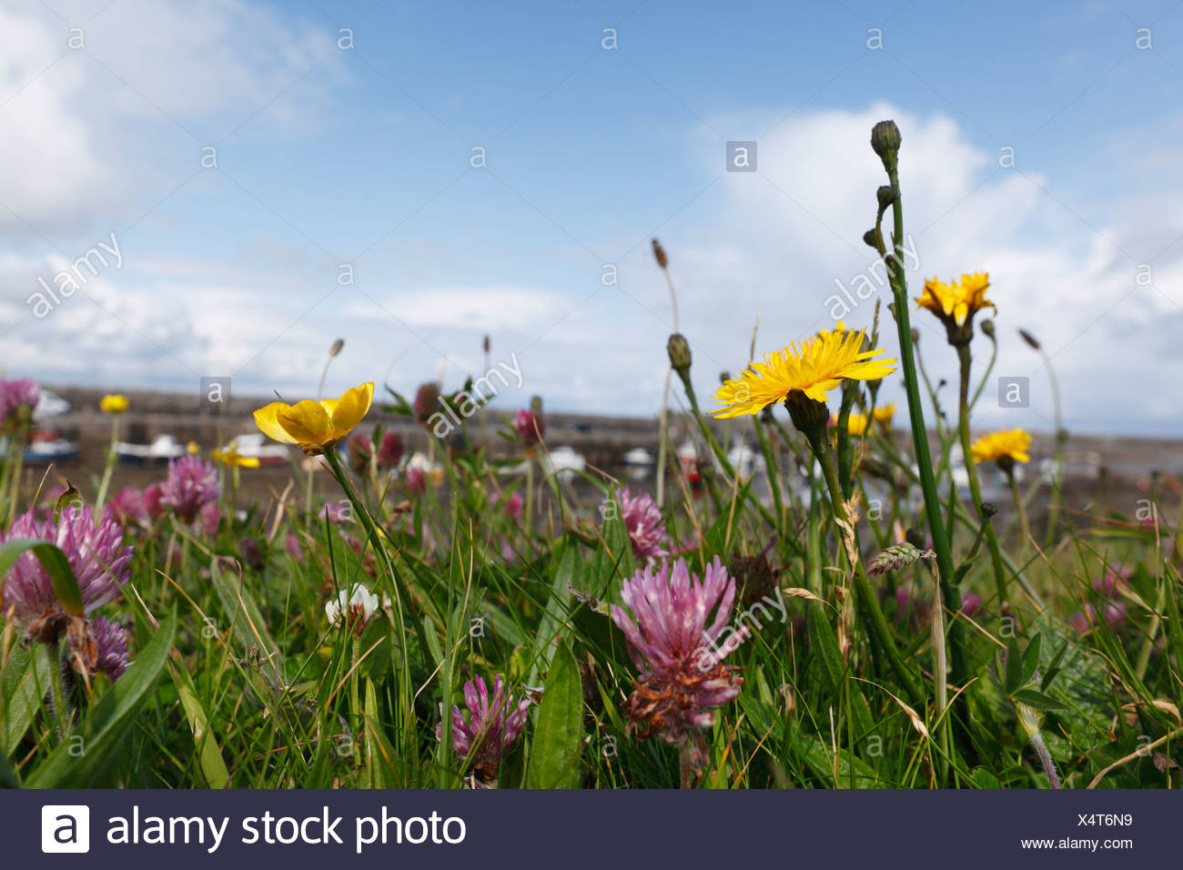 Meadow by the harbour in Mullaghmore, County Sligo, Connacht, Ireland, Europe - Stock Image
