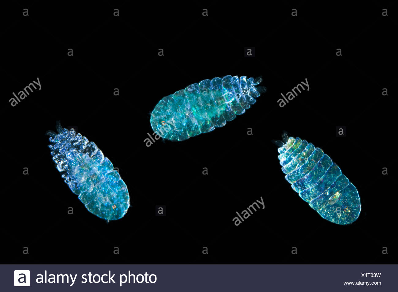 Pelagic copepod {Saphirrina sp} caught with 1m ring net between 0 and 150m, Mid-Atlantic Ridge, North Atlantic Ocean - Stock Image