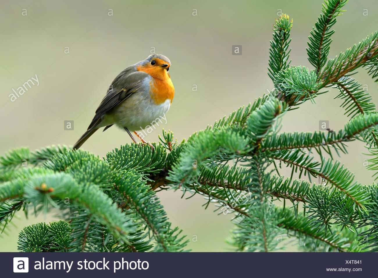 European robin (Erithacus rubecula), sits on fir branch, Canton Zug, Switzerland - Stock Image