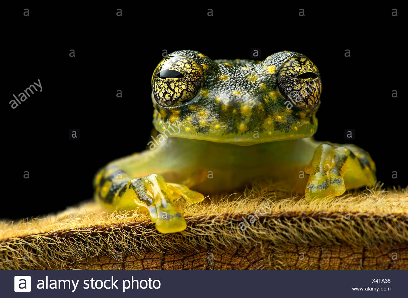 White-spotted Cochran Frog (Sachatamia albamoculata) sitting on hairy leaf, Choco rainforest, Canande River Nature Reserve Stock Photo
