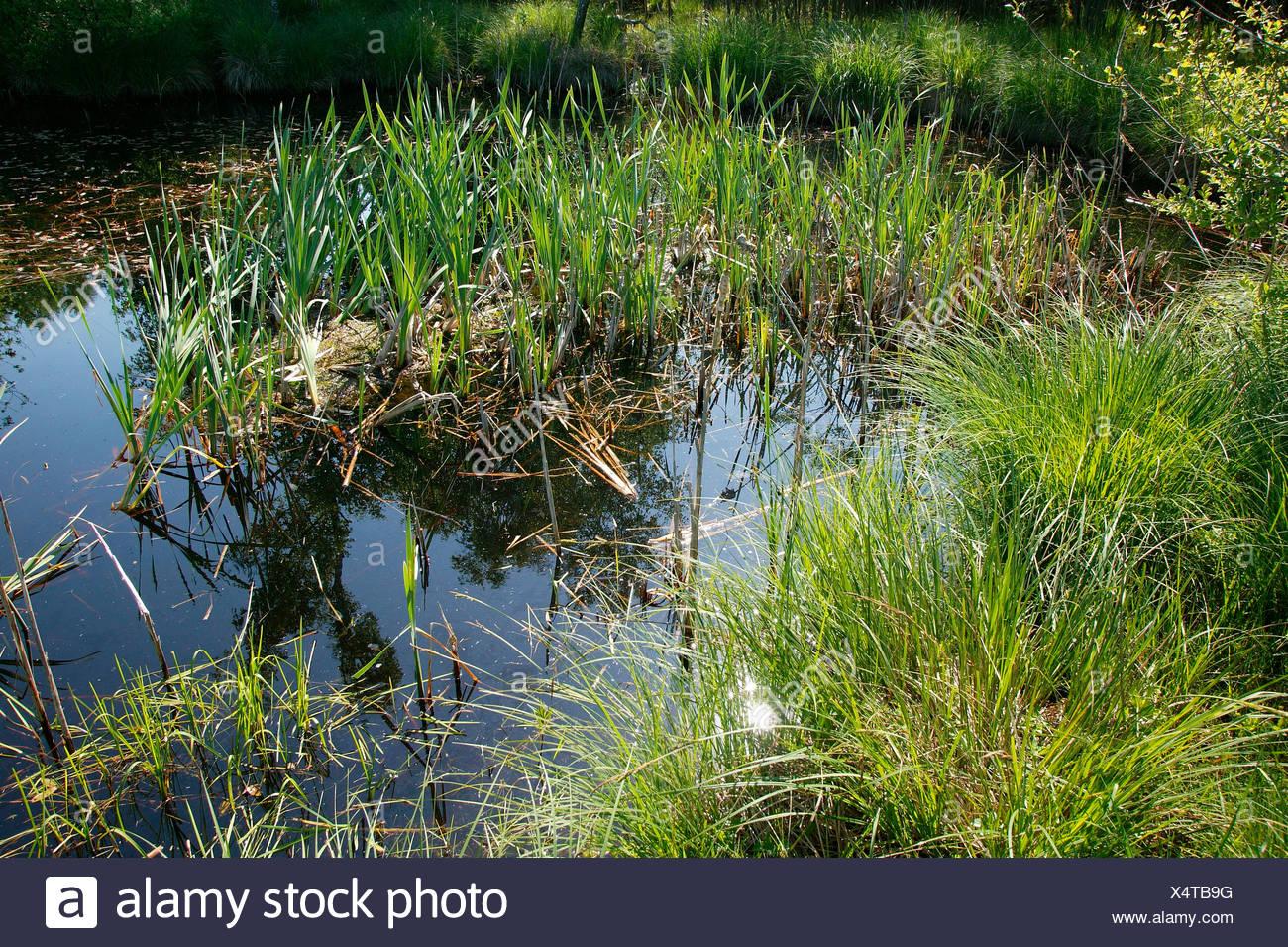 Mauremys leprosa reproduccion asexual de las plantas