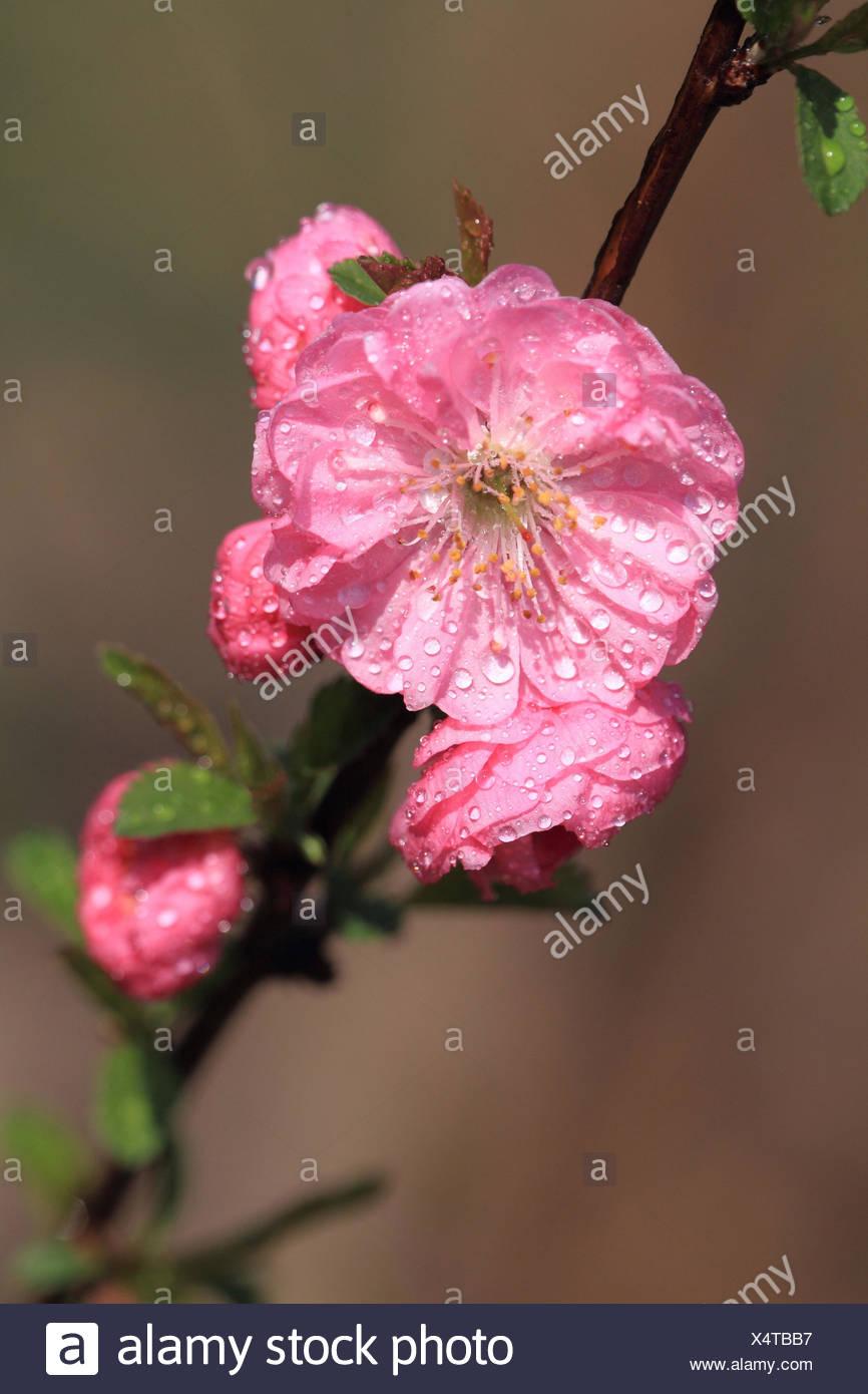 Tonsil blossom, Prunus dulcis, - Stock Image