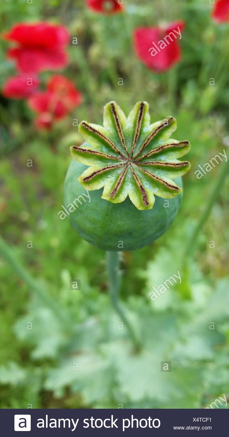 Poppy Flower Bud Growing On Field Stock Photo 278361189 Alamy