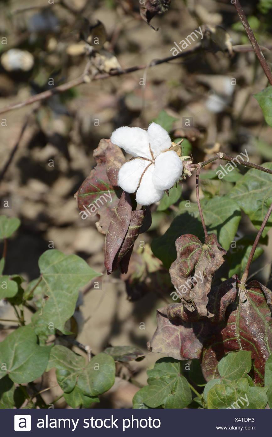 cotton blossom in ethiopia - Stock Image
