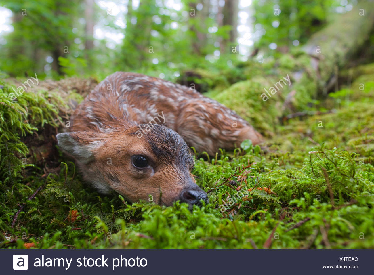 Black-tailed deer fawn lying in moss covered rainforest, Montague Island, Prince William Sound, Southcentral Alaska, Summer - Stock Image