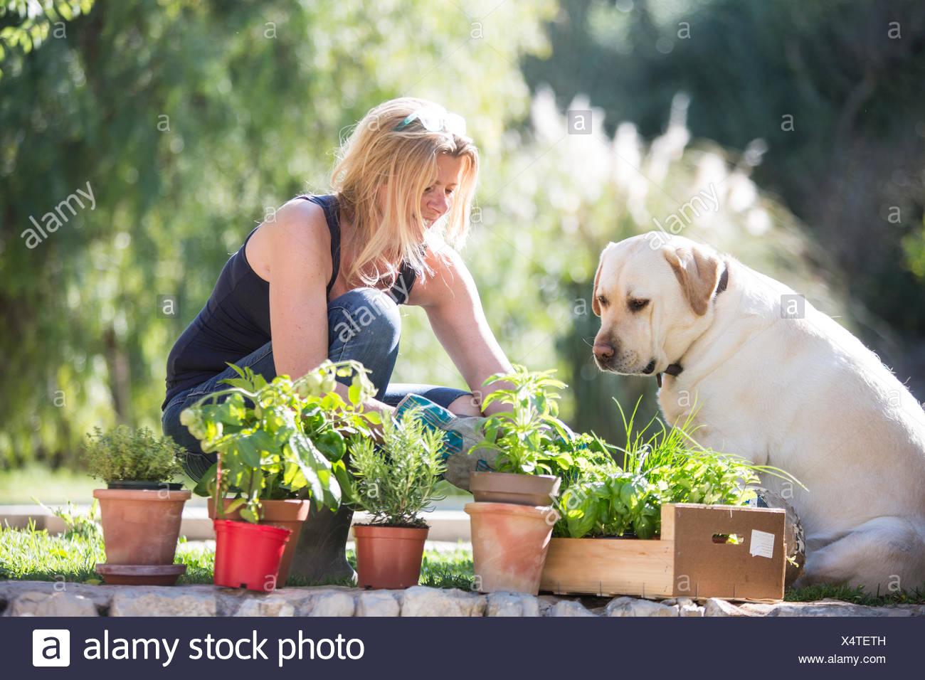 Labrador dog watching woman tending plants in garden - Stock Image