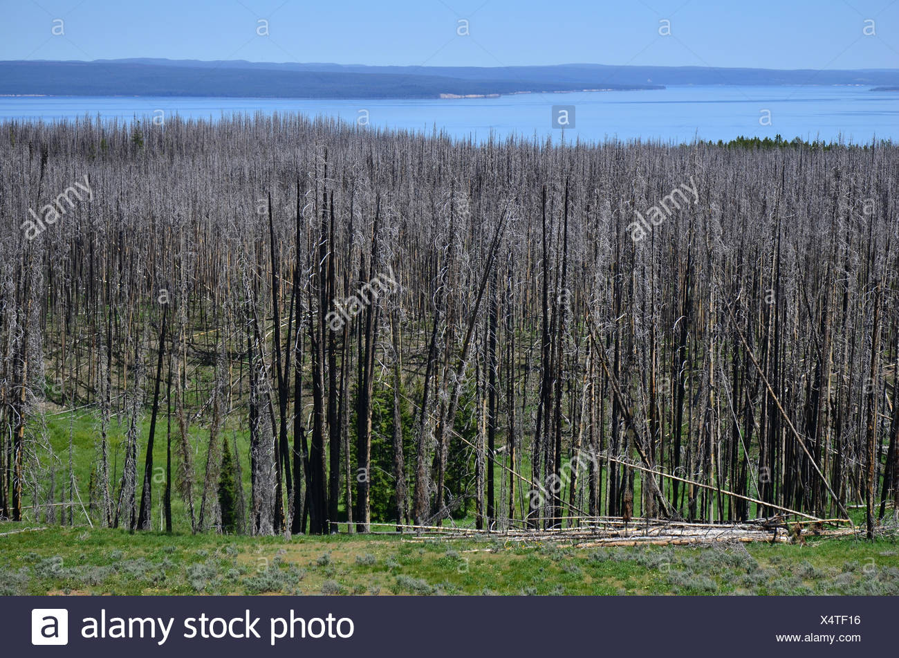 A ridge of dead pine trees, killed by mountain pine beetles, line the shore of Yellowstone Lake. - Stock Image