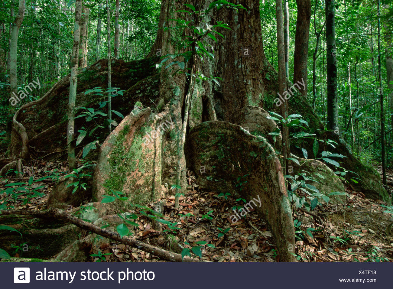 A rainforest tree with large buttresses. Gunung Palung National Park, Borneo, Indonesia. - Stock Image