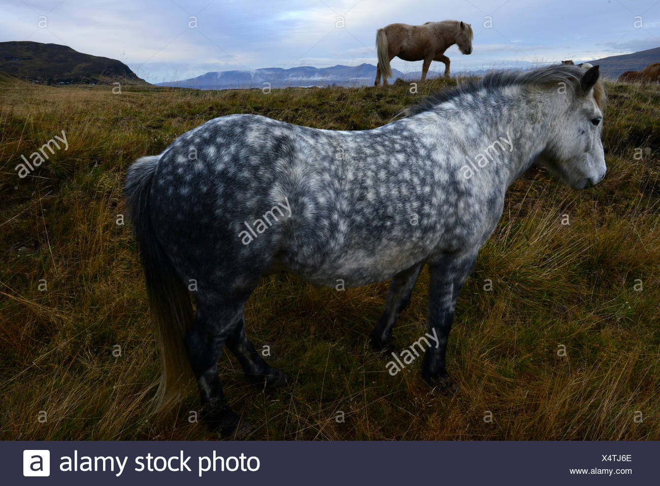 Two Icelandic Horses, Equus Ferus Caballus, on grassy field. - Stock Image