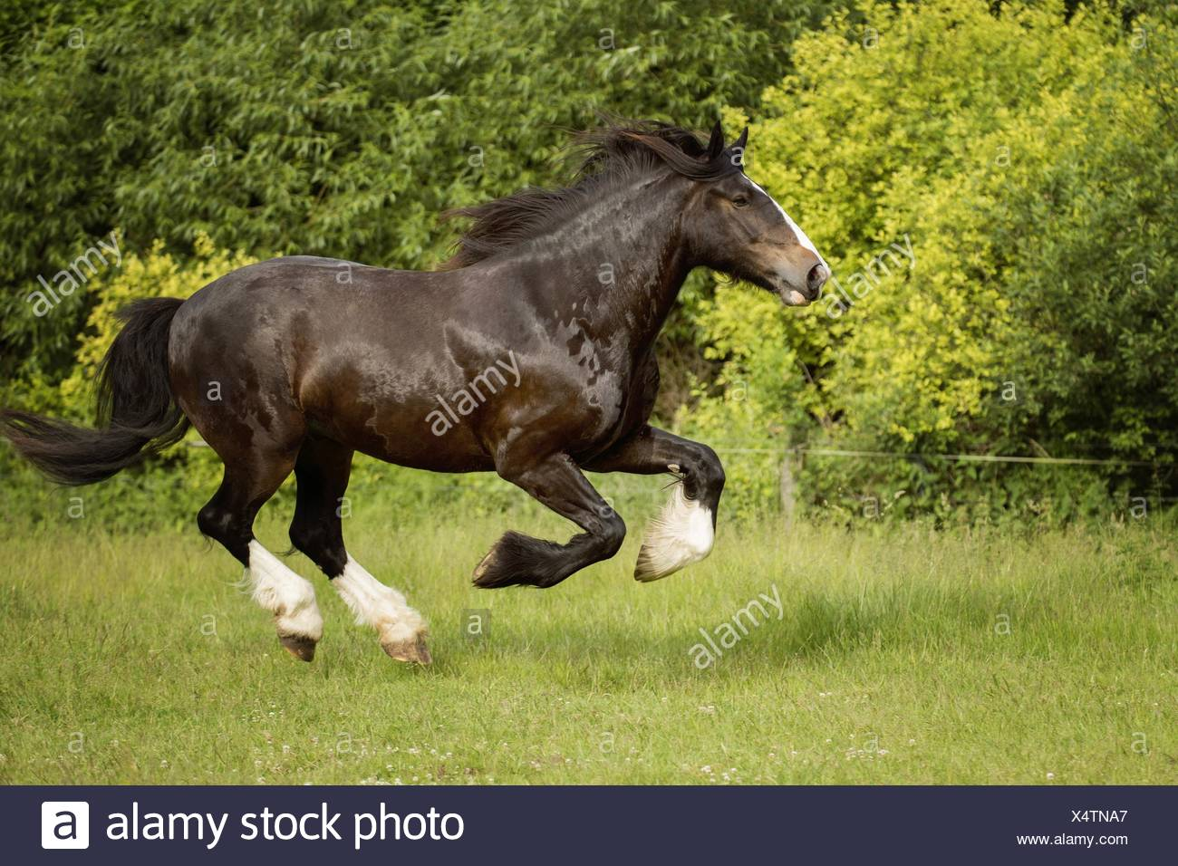 Shire Horse High Resolution Stock Photography And Images Alamy