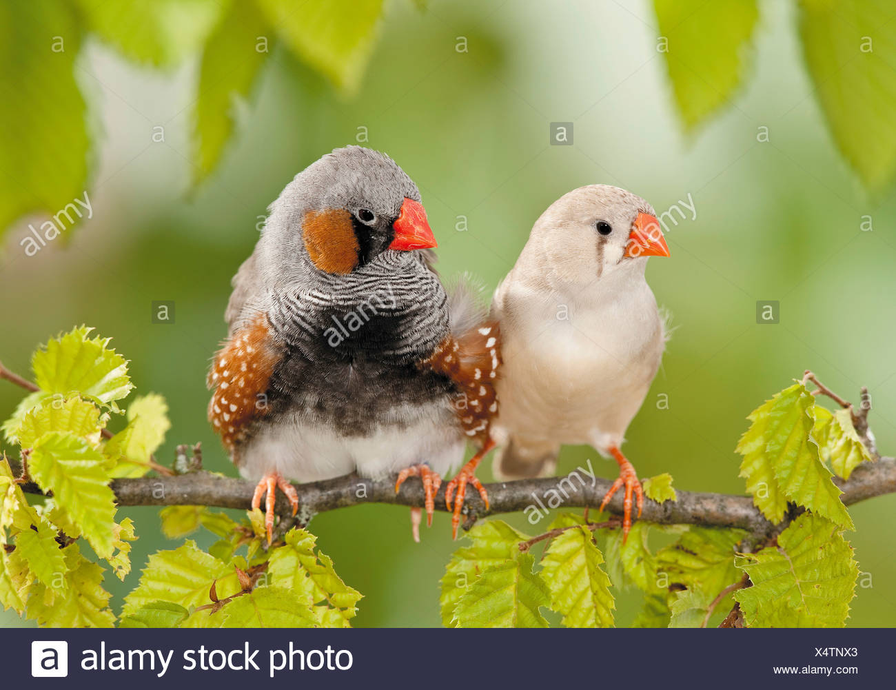two Zebra Finches on twig - Stock Image