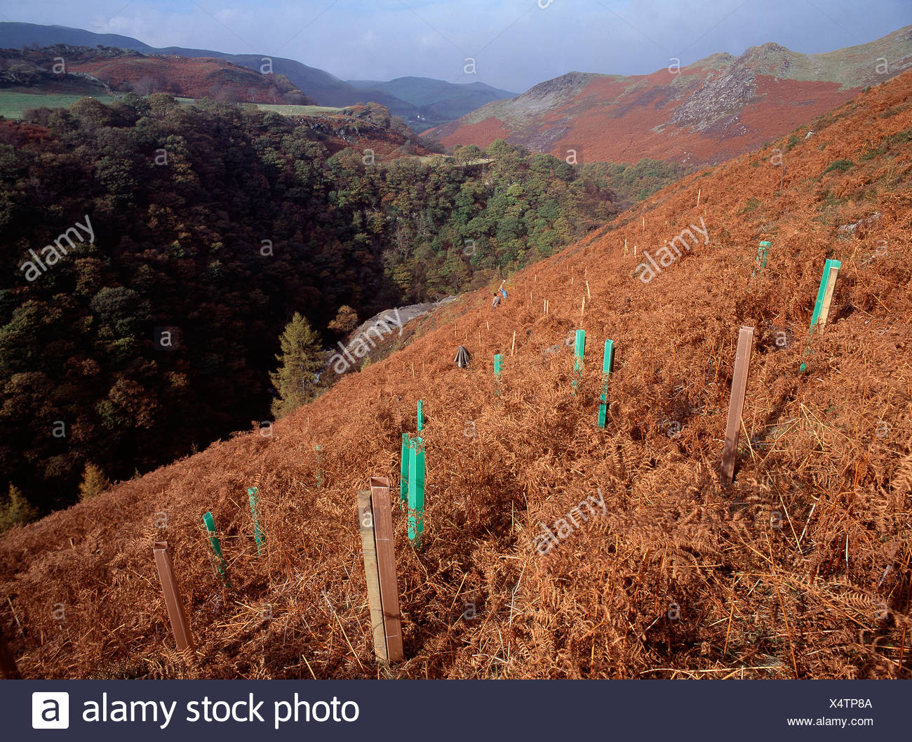 Replanting trees - Stock Image