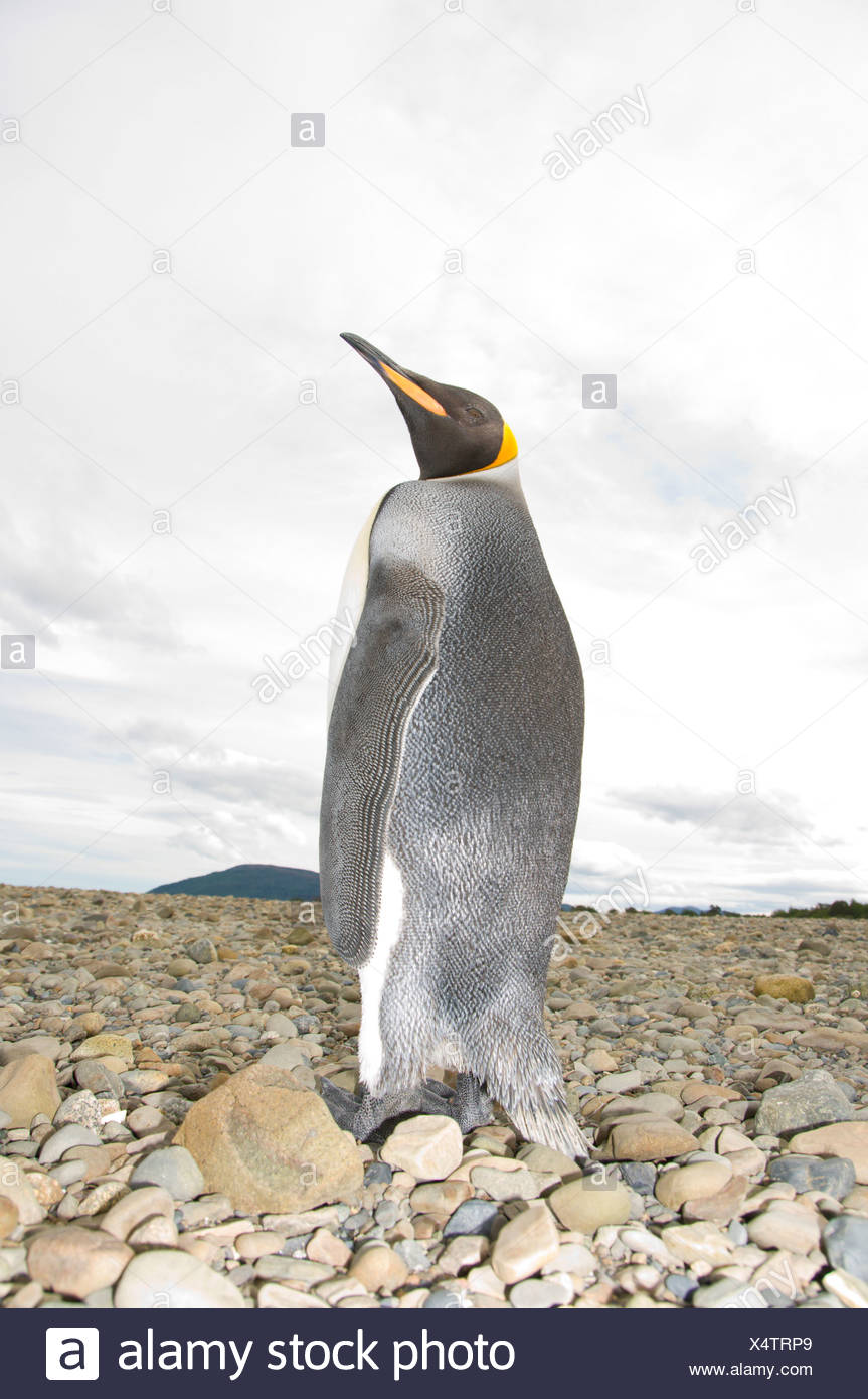 A King Penguin, Aptenodytes patagonicus, on a lonely beach near Punta Arenas, Patagonia, Chile - Stock Image
