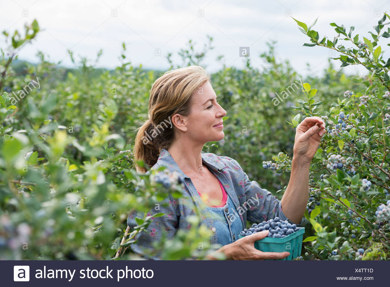 An organic fruit farm. A woman picking the berry fruits from the bushes. - Stock Image