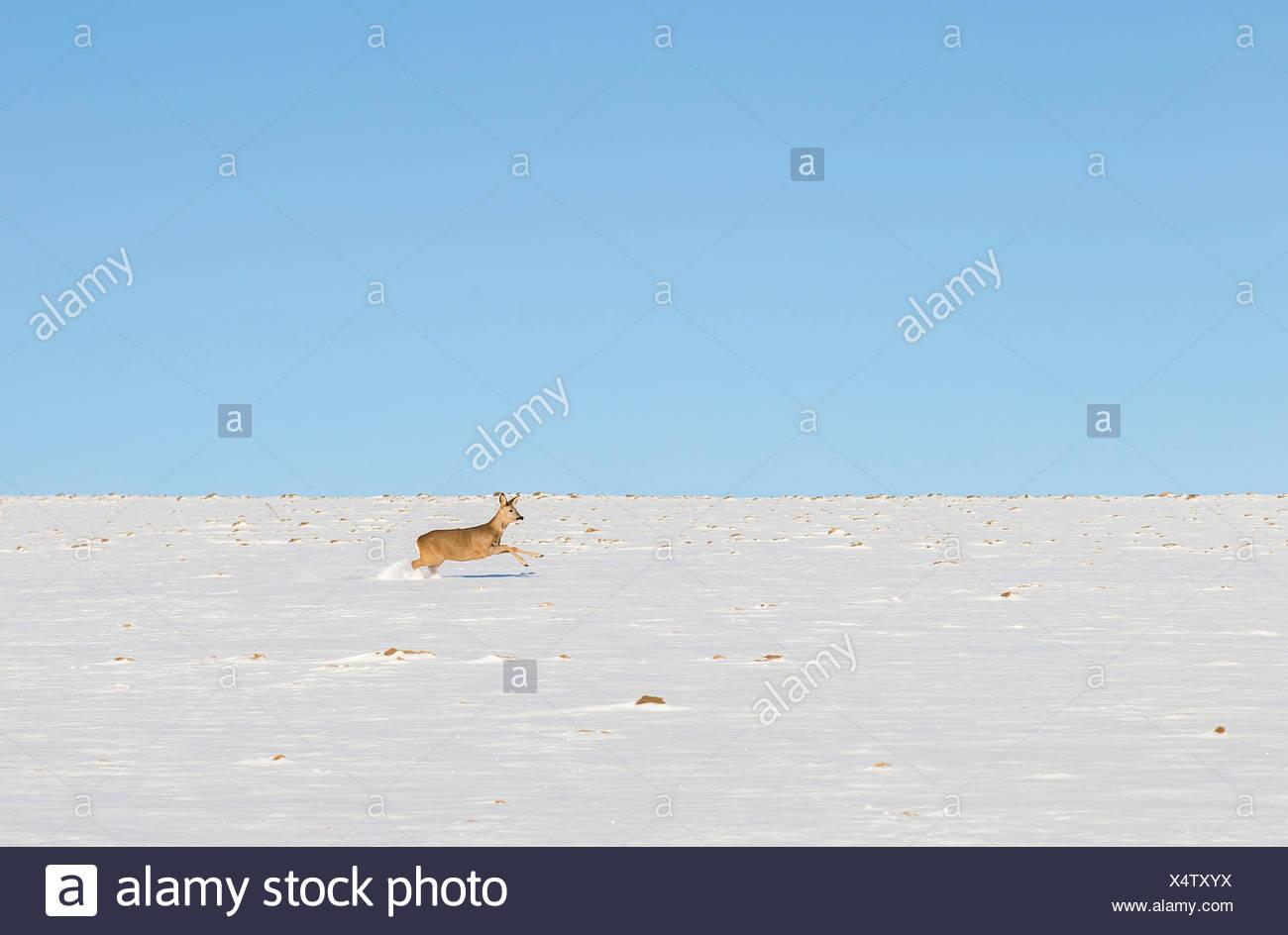 Roe deer running in snowfield - Stock Image