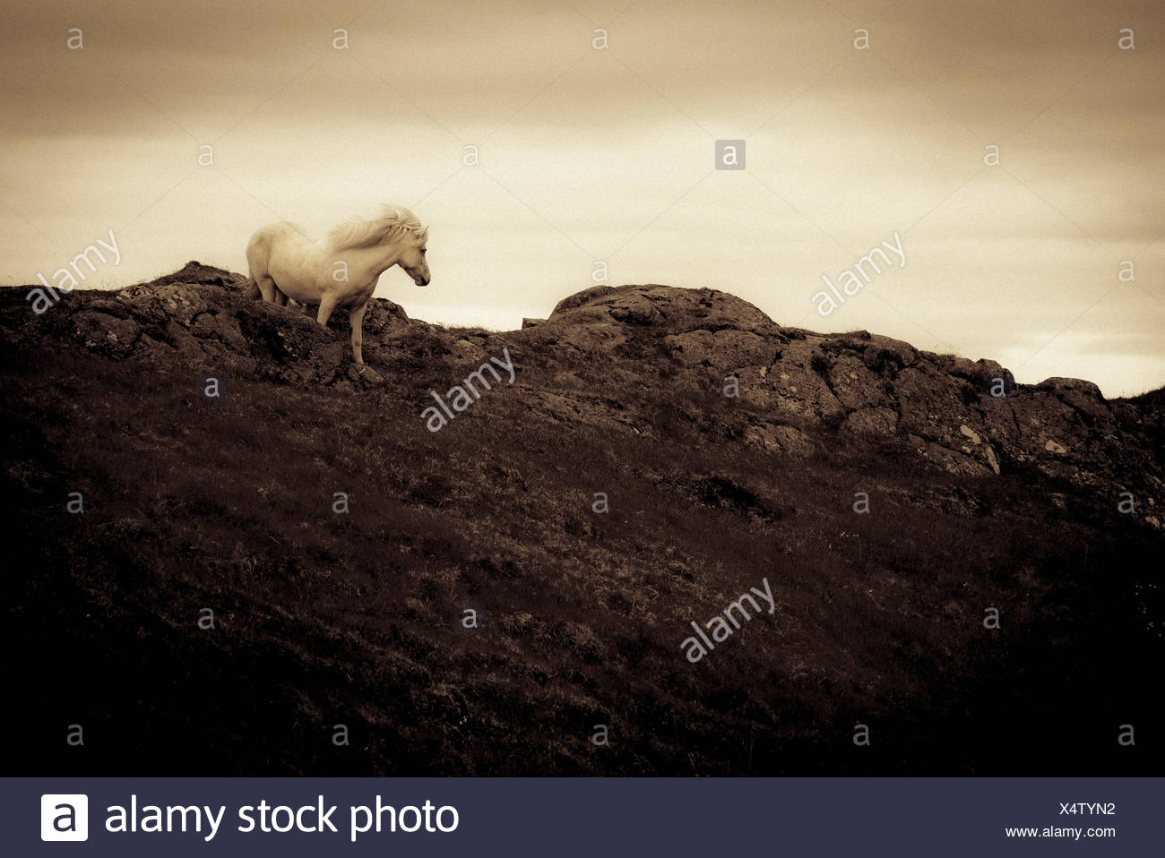 An Icelandic horse at the base of the solitary,holy mountain Helgafell on the Snaefellsnes Peninsula in western Iceland. - Stock Image