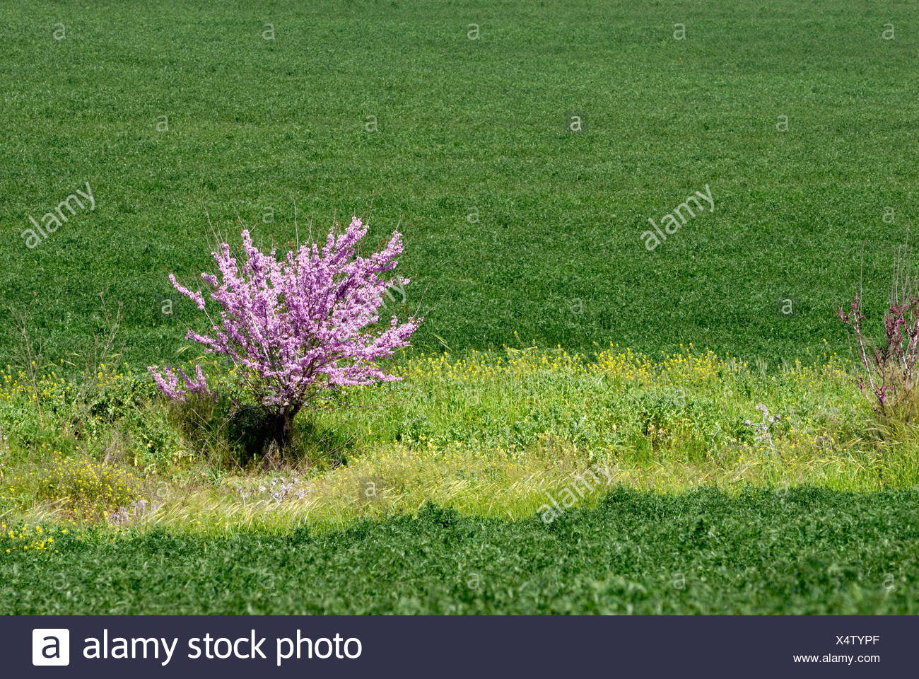 Israel, Negev, purple blossoms on a lone tree in a wheat field Stock Photo