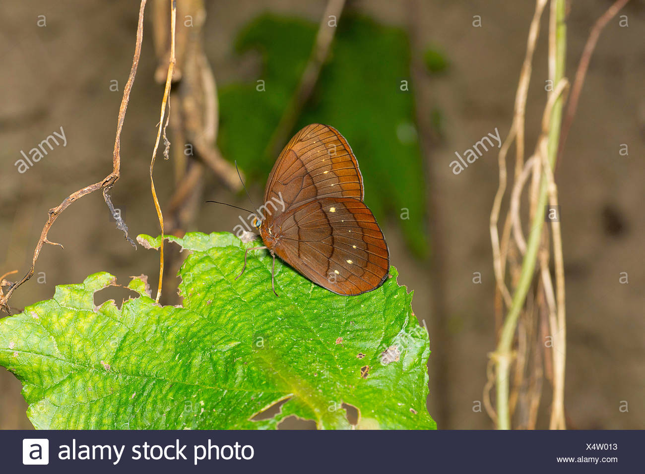 Assam Large Faun, Faunis eumeus assama, Brush-footed butterfly family, Satakha, Nagaland, India - Stock Image