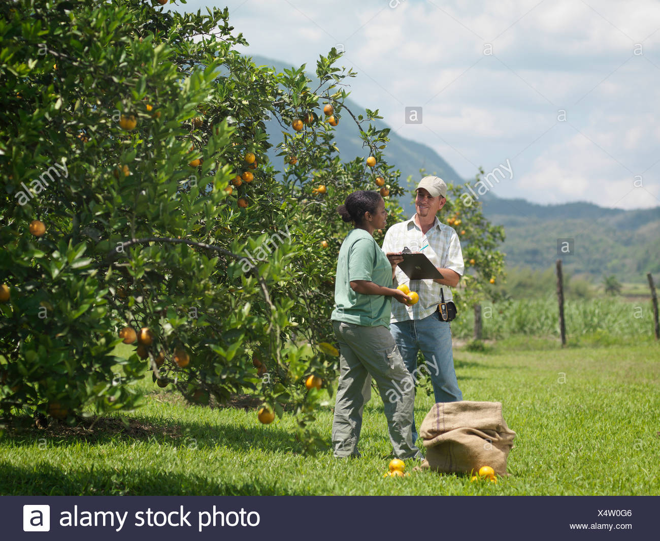 Workers With Clipboard In Orange Groves - Stock Image