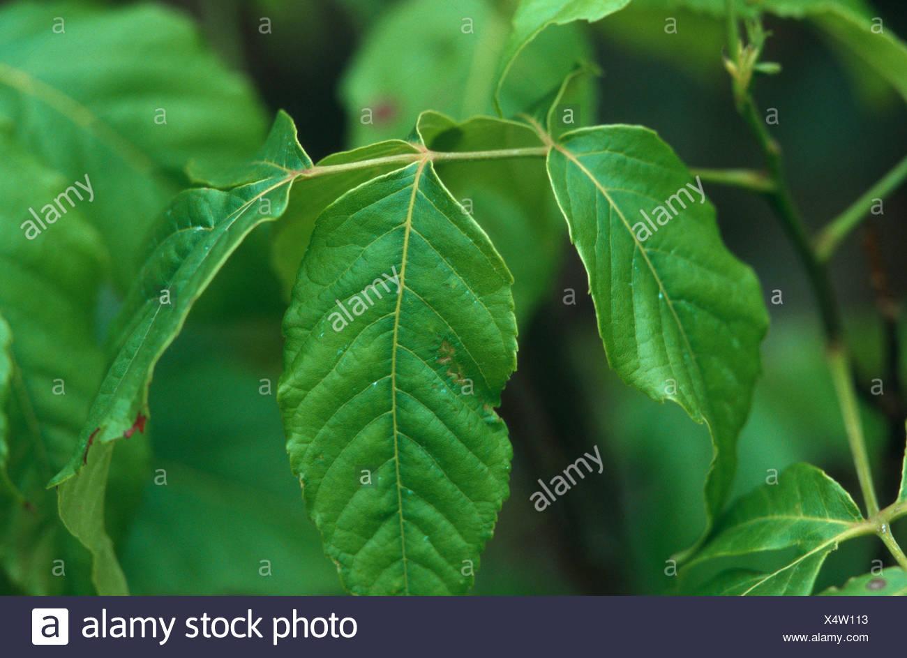 texan buckeye (Ungnadia speciosa), leaf - Stock Image