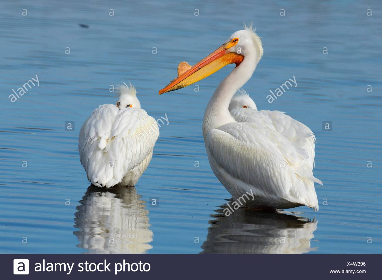 American white pelican (Pelecanus erythrorhynchos), Rocky Ford Creek Water Access Site, Washington. - Stock Image