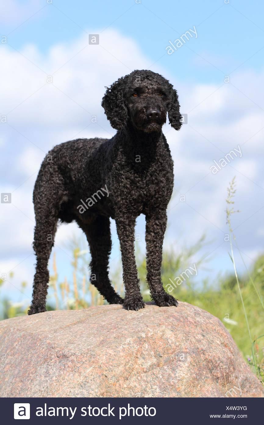 Perro de Agua Espanol - Stock Image