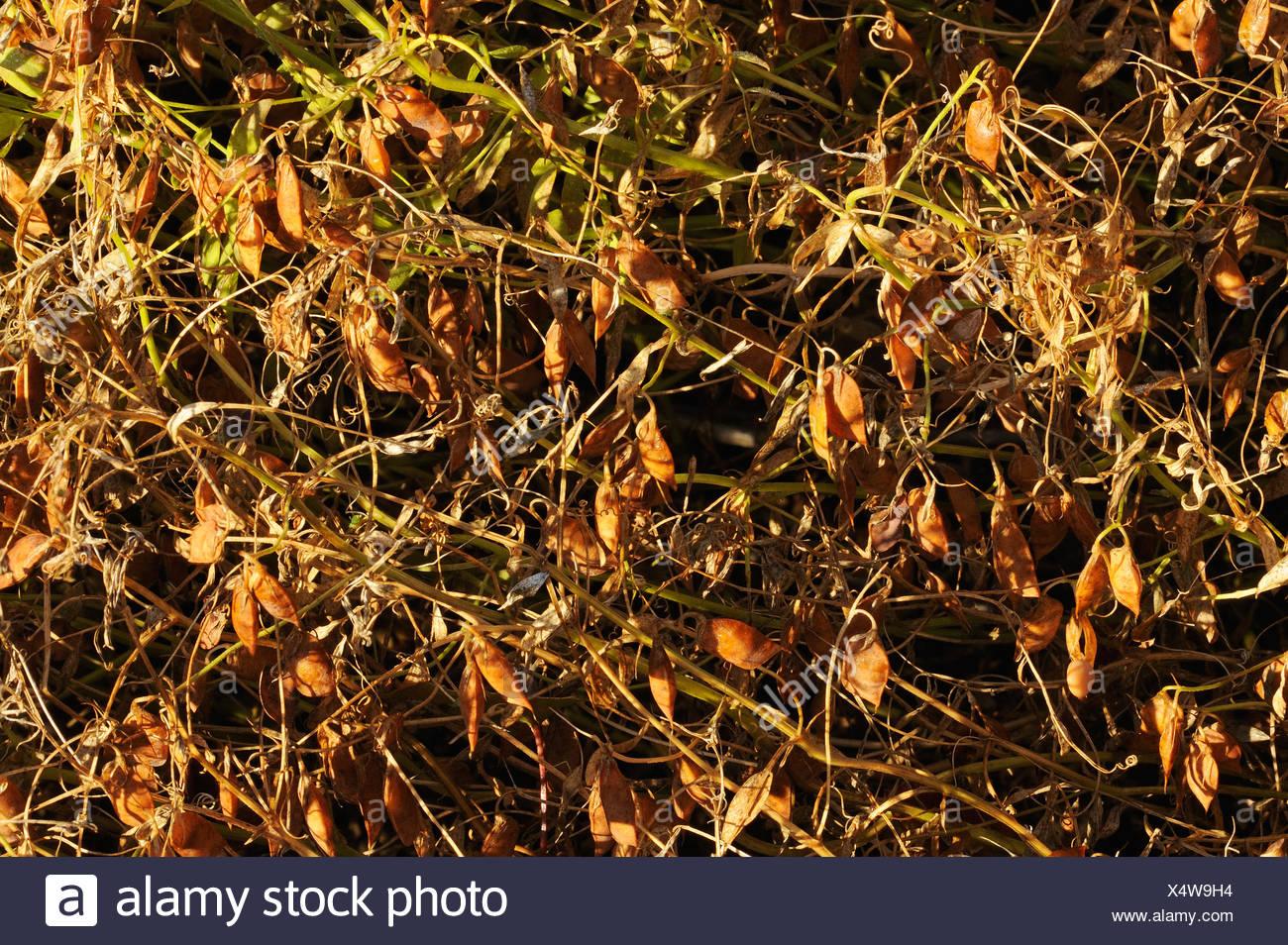 Brown lentils Webb Saskatchewan Canada - Stock Image