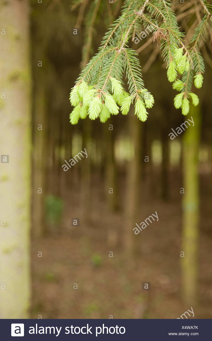 Wood, spruce, branch, detail, instincts, young, blur, outside, trees, tree, conifer, growth, trunks, spring, nature, nobody, plants, spruce points, spruce point instincts, spruce instincts, pale green, Picea, - Stock Image