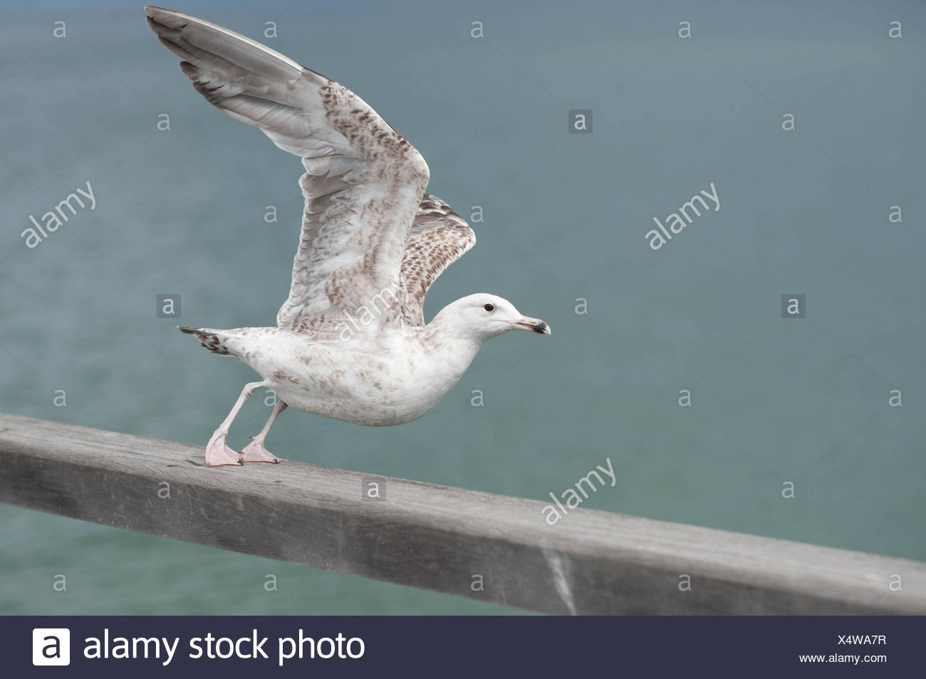 Seagull Spreading Wings And Preparing To Fly Away - Stock Image
