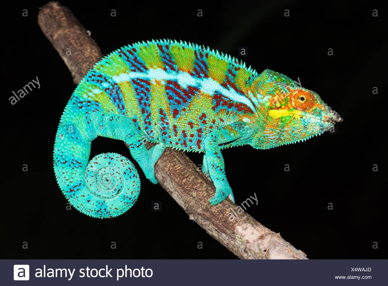 Panther chameleon (Furcifer pardalis) Male, Ambanja, Northwest Madagascar, Madagascar - Stock Image