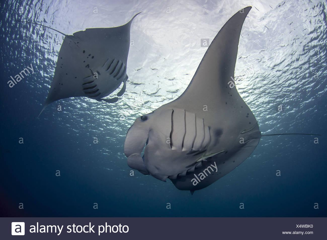 Manta ray, Palau (Manta birostris) Stock Photo