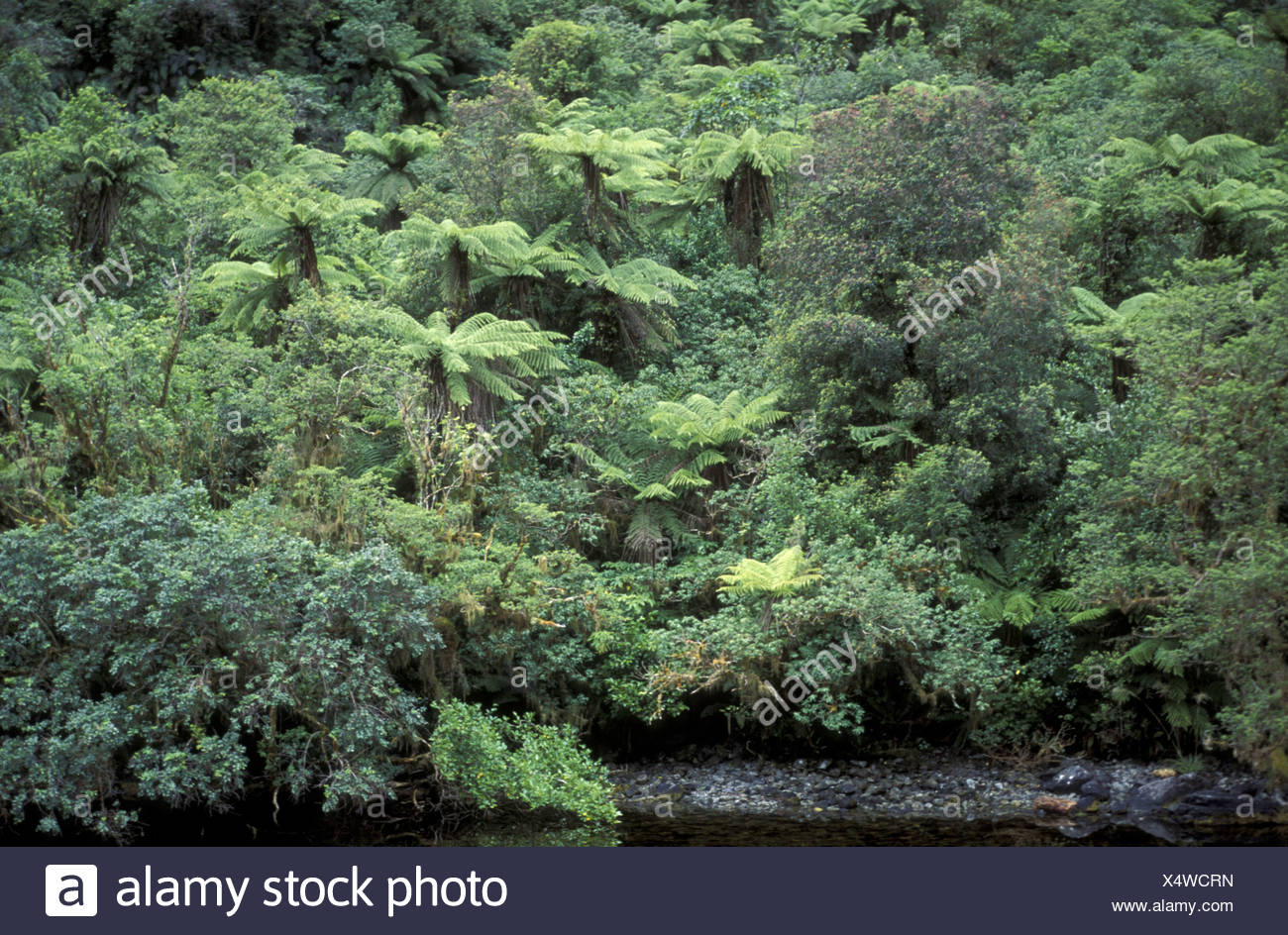 rainforest with ferns, New Zealand Stock Photo
