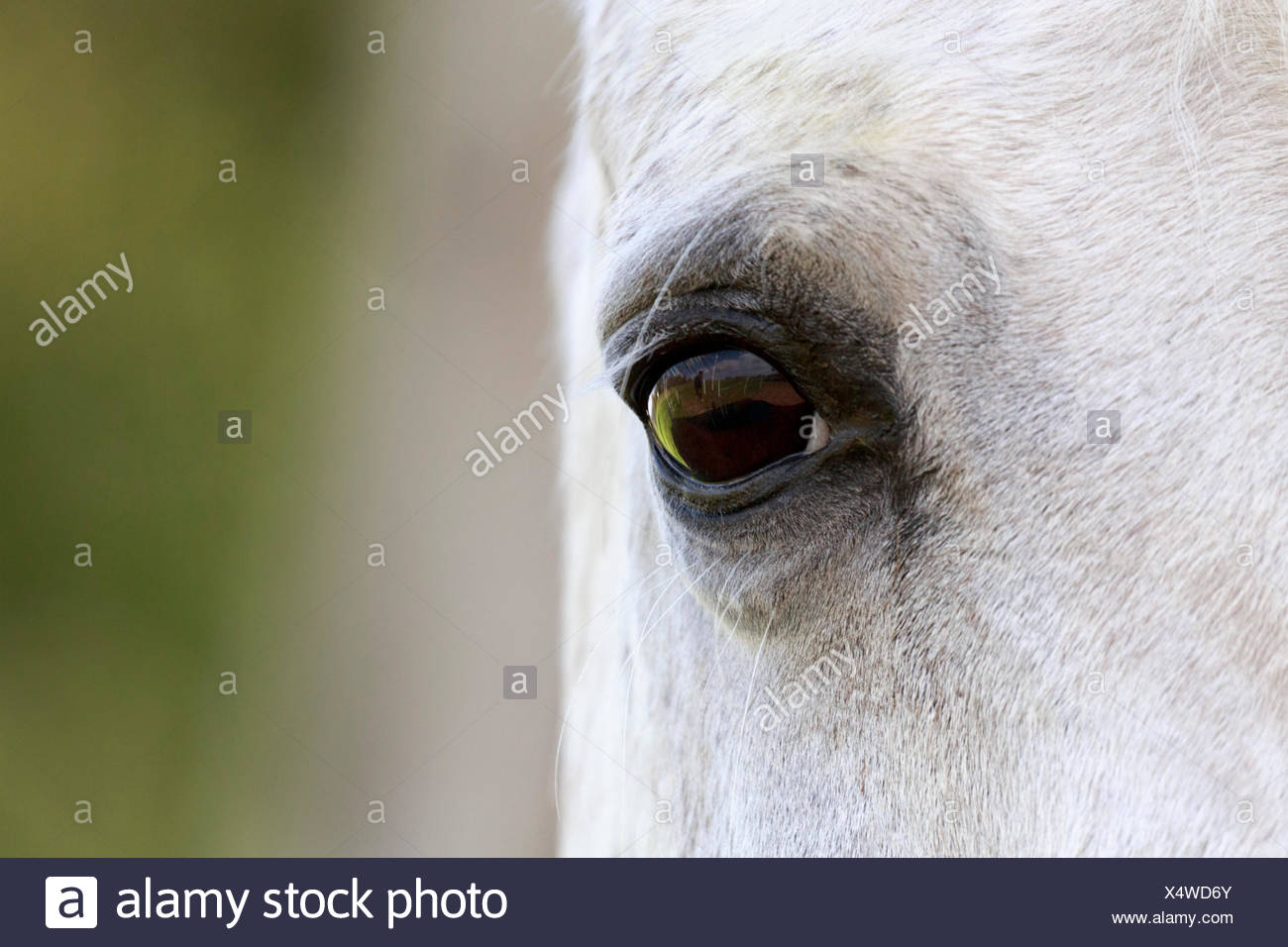 Arab Horse White Horse Mare Detail View Of The Eye North Rhine Westphalia Germany Stock Photo Alamy