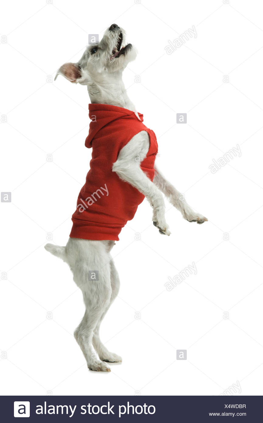 Casually Dressed woman training in hoodie dog to sit - Stock Image
