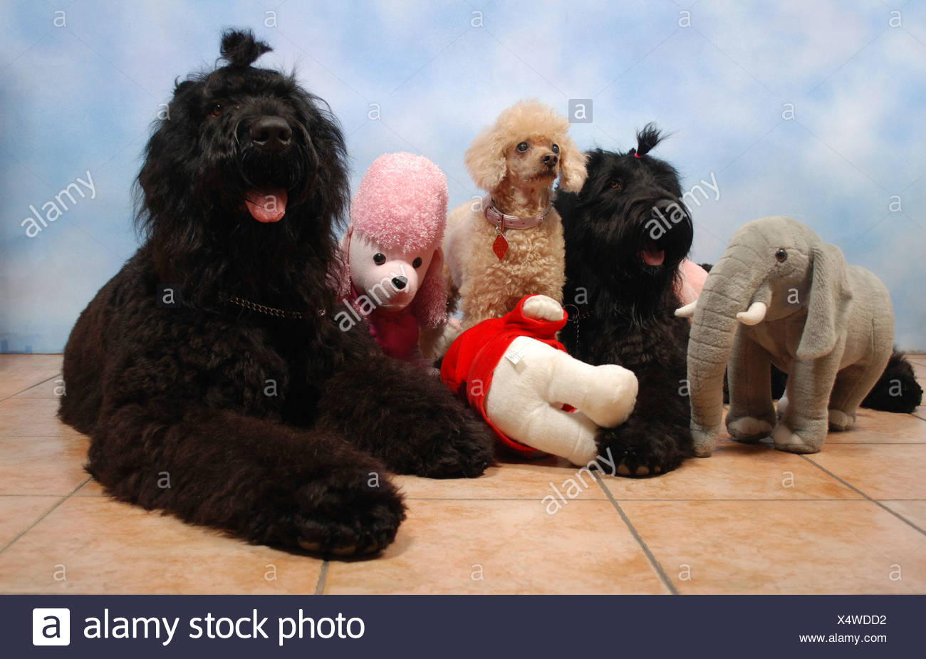 2 Black Russian Terriers and one Apricot Miniature Poodle sitting facing camera with stuffed toys Property release available - Stock Image