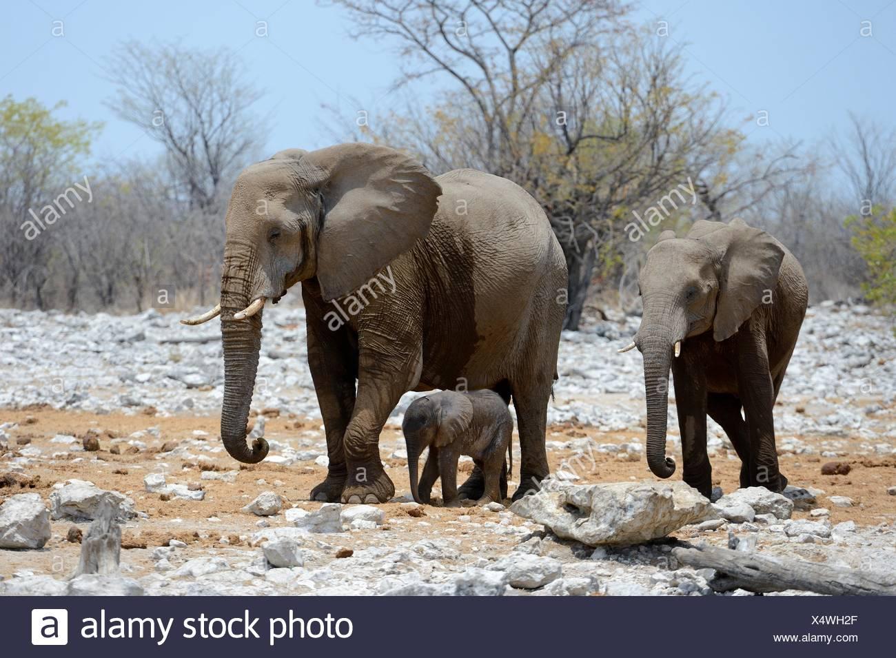 African elephant female staying next to her very young calf (Loxodonta africana) Etosha National Park, Namibia, Africa. Stock Photo